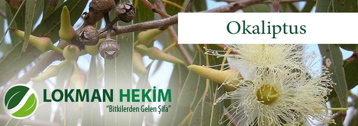 Okaliptus, Sıtma Ağacı